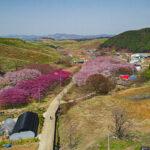서산 문수사 벚꽃터널