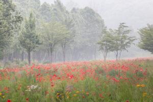 꿈속의 양귀비 꽃밭에서